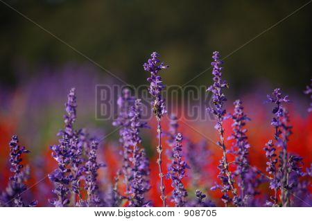 Lavender #3