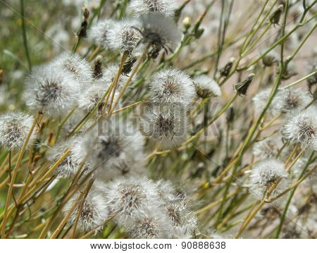 Sonchus Seedheads Background