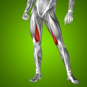Concept or conceptual 3D human upper leg anatomy or anatomical and muscle on green gradient background poster
