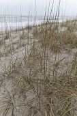 Close up of native beach grass growing on sand dunes with the sea in the background helps to prevent the shore from erosion by ocean tides poster