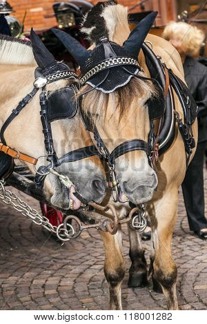 head of stagecoach horses in detail with bridle poster