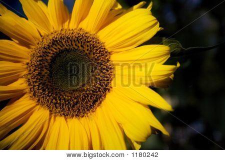 Sun Flower 11