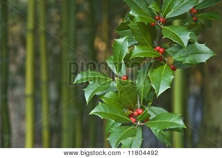 Christmas Holly Branch (ilex Aquifolium) With Leaves And Berries