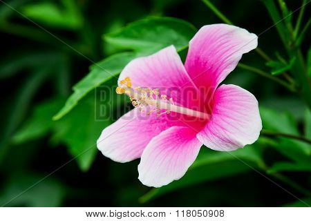 Vivid pink hibicus is blooming in garden on nature background poster