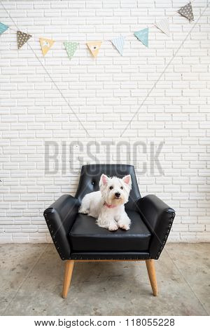 White Terrier, Westie Highland Dog