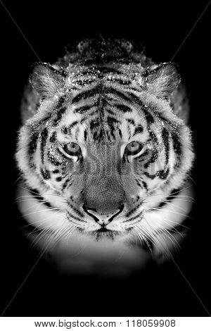 Tiger On Dark Background