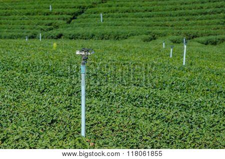 Water Sprinkler In Tea Plantation