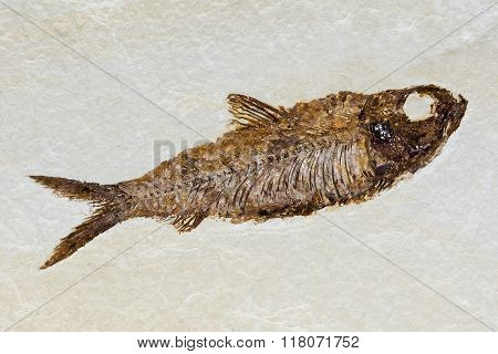 Fish Fossil In Sandstone