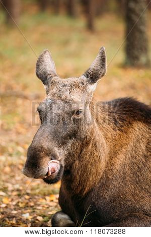 Close up of head of wild female moose, elk