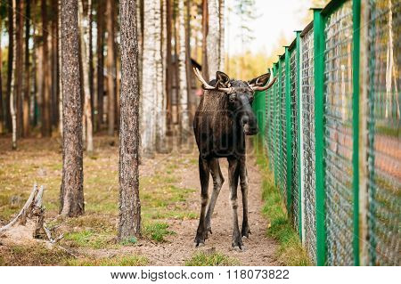 Wild male moose, elk in cage forest reserve.
