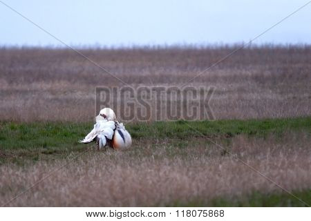 Courtship Display Of Male Great Bustard