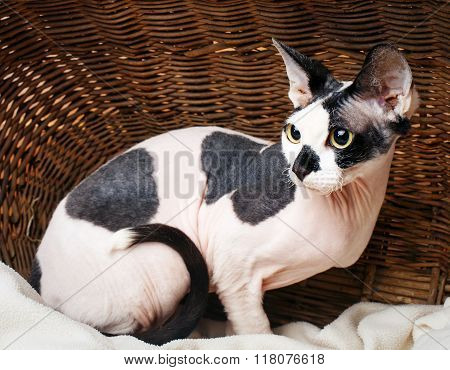 Sphynx Cats Inside a Wooden Basket Looking Up.