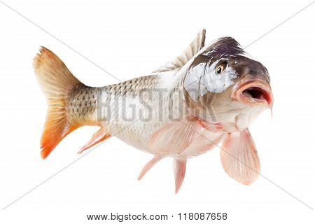 Alive Carp Fish Isolated On White Background