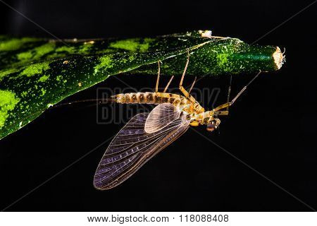 Adult Mayfly Dun