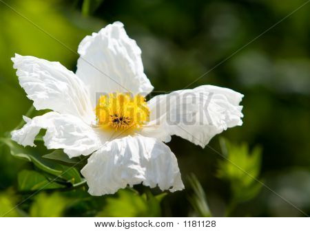 Close Up Of Matilija Poppy Or California Tree Poppy (Romneya Cou