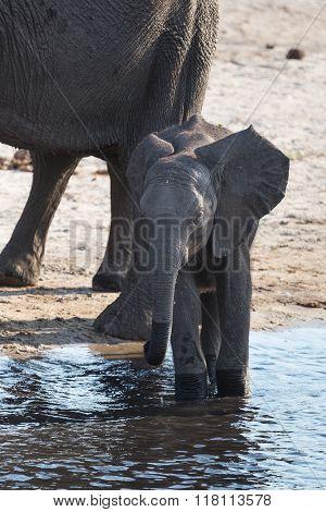 Baby African Bush Elephant At River In Okavango Delta