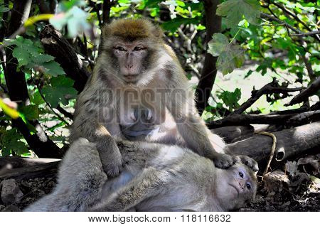 An Old Female Monkey Relaxing In Shade