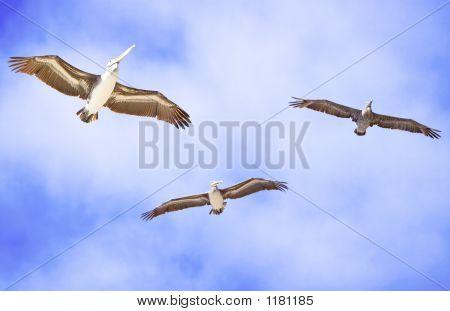 three california brown pelicans in flight (pelecanus occidentalis)~ blue sky white clouds poster