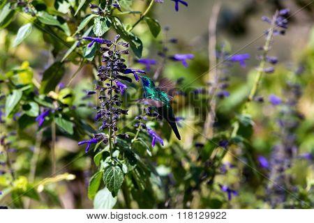 Violet Eared Hummingbird