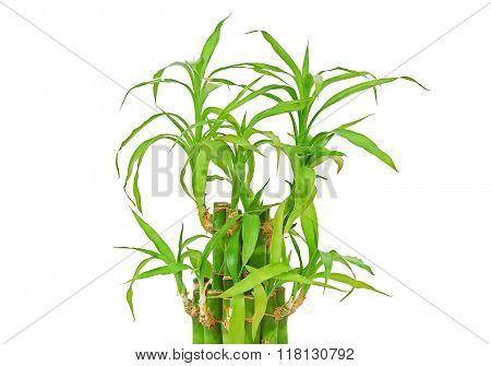 Lucky Bamboo (dracaena Sanderiana)