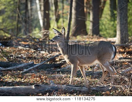 Doe, Deer in forest on a sunny day.