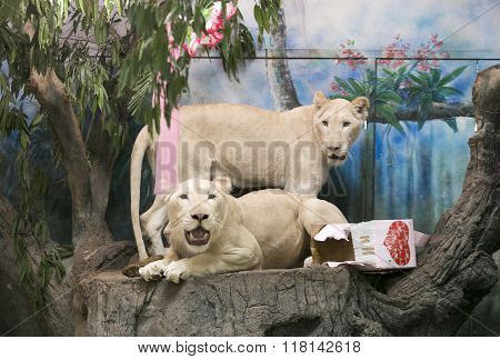 CHIANG MAI,THAILAND-FEBRUARY 14: Two white lions wedding to celebrate Valentine's Day