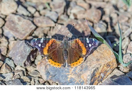 Red Admiral (Vanessa atalanta) butterfly perched on a rock