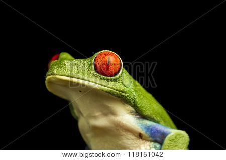 Close Up Of Red-eyed Green Tree Frog (agalychnis Callidryas)