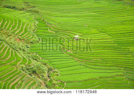 Rice Field Terraced In Tule Village, Vietnam