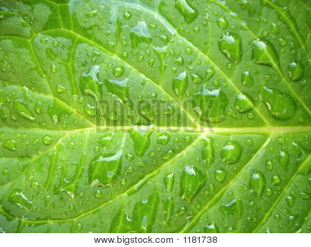 Leaf After The Rain.