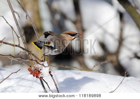 Waxwing With Ashberry Above Snowdrift