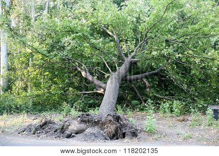 Fallen Tree In The Park