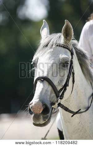 Head-shot Of A Show Jumper Horse During Competition With Unknown Rider