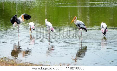 The Courtship Behavior Of Painted Stork In Nature.