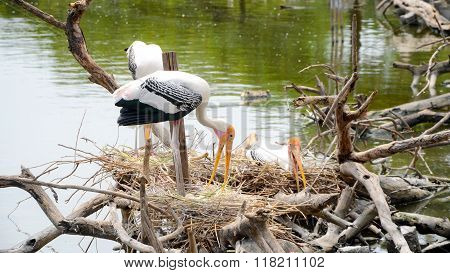 Nest Colonial Of Painted Stork In Nature.