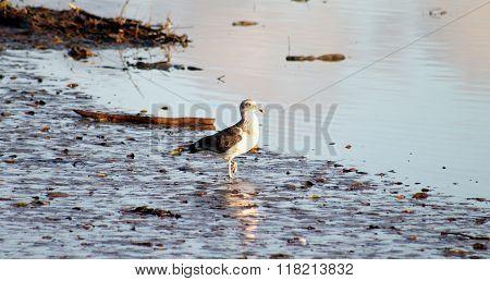 Juvenile Kelp Gull
