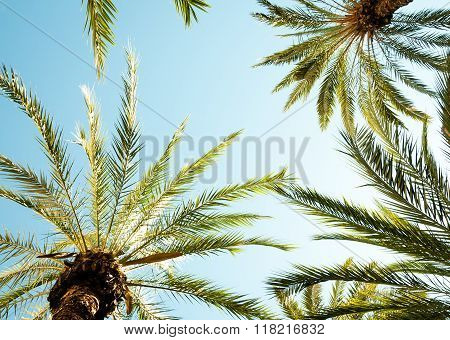 Looking Up In A Palm Tree