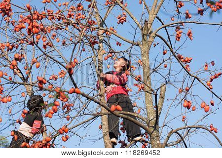H'mong ethnic boys in traditional custome climb on the kaki tree in H'mong holiday.