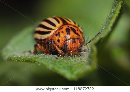The Colorado Potato Beetle (leptinotarsa Decemlineata)