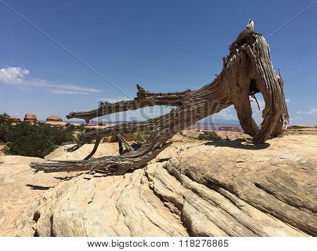 Dried Juniper In Stone Desert