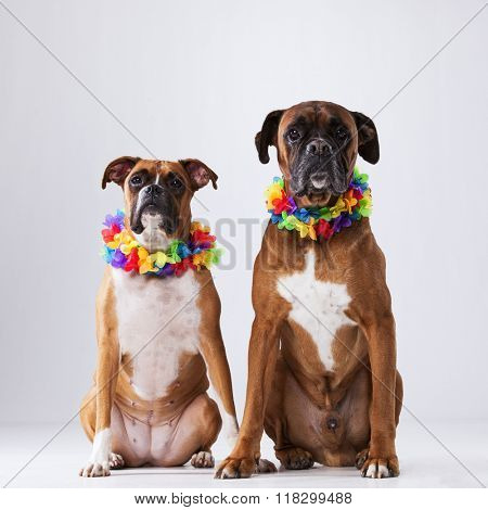 Two boxer dogs with hawaii neckless