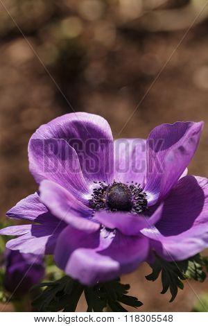 Deep purple flower 'Mona Lisa Wine' Anemone coronaria blooms