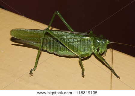 the green giant bush cricket - the wart biter