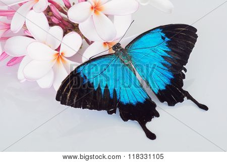 Butterfly on frangipani