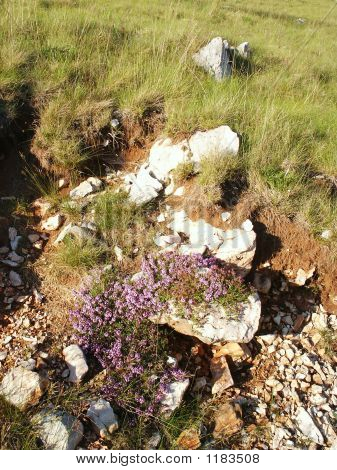 Mountain Flowers On Mountain Dinara. Croatia. No.1