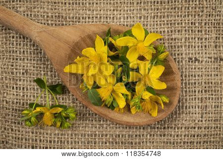Fresh yellow flowers of medicinal plant St. John's Wort on wooden spoon, burlap background