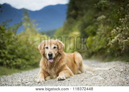 Golden retriever dog in front of a mountain in Vancouver