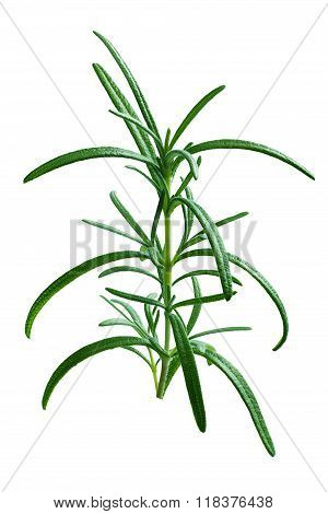 Fresh Rosemary Branch