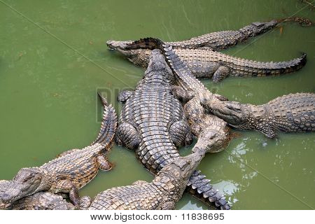 Crocodiles in greenish water