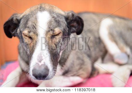 Dog With Amputated Paw